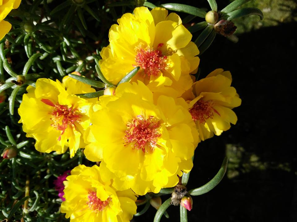 thanh hoa: ruc ro sac mau hoa muoi gio my tren noc chung cu - 6