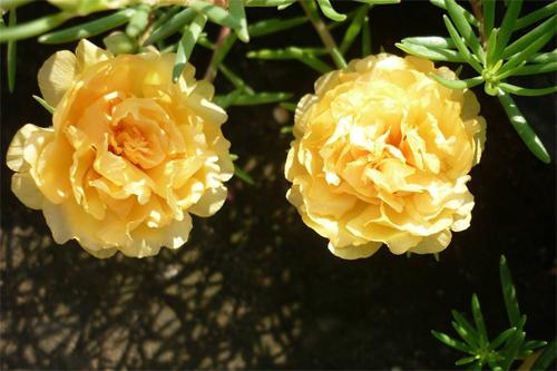 thanh hoa: ruc ro sac mau hoa muoi gio my tren noc chung cu - 2