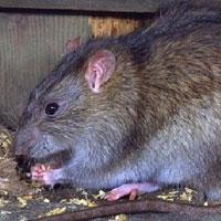 TPHCM: Phát hiện ca bệnh suy thận vì bị chuột cắn