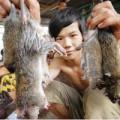 Tin tức - Cận cảnh chợ chuột béo mầm ở miền Tây