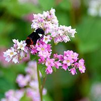 Xiêu lòng ngắm hoa tam giác mạch vào mùa