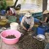Mua sắm - Giá cả - Thương lái TQ lại giở trò mua ốc bươu vàng