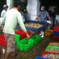 """Mua sắm - Giá cả - """"Săn"""" ốc bươu vàng bán cho... Trung Quốc"""