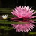 Nhà đẹp - 6 bước trồng hoa Súng cực 'đỉnh'