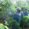 Mua sắm - Giá cả - Cà phê rớt giá: Tổn thất lớn cho hộ nghèo