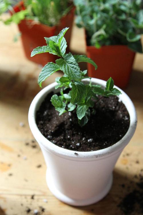 3 loại rau củ dễ trồng tại nhà-6