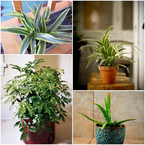 Cây dương xỉ trồng trong nhà đẹp ý nghĩa