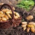 Nhà đẹp - Trồng khoai tây tại nhà 'dễ như bỡn'
