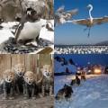 Tin tức - Ảnh động vật: Chó kéo xe trượt tuyết ở Nga
