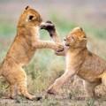 Tin tức - Ảnh động vật: Vũ điệu hoang dã của sư tử