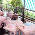 Tin tức - Thương lái Trung Quốc săn lùng lợn mỡ giá cắt cổ