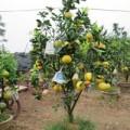 Mua sắm - Giá cả - Săn lùng cây bảy loại quả giá 'khủng' đón Tết