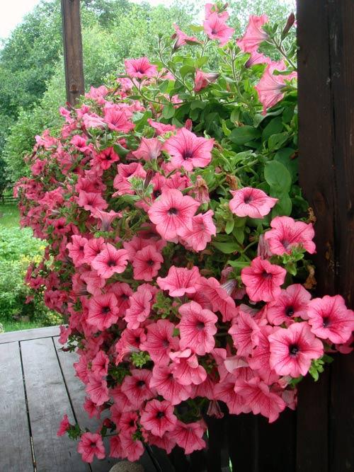 7 loài hoa tuyệt đẹp tô điểm ban công - 3
