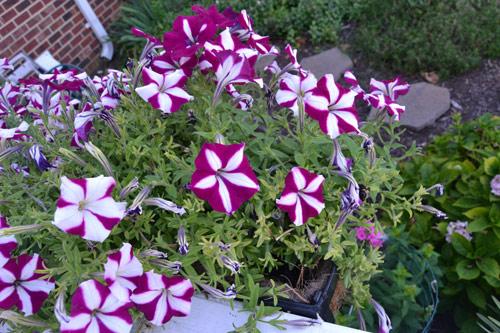 7 loài hoa tuyệt đẹp tô điểm ban công - 4