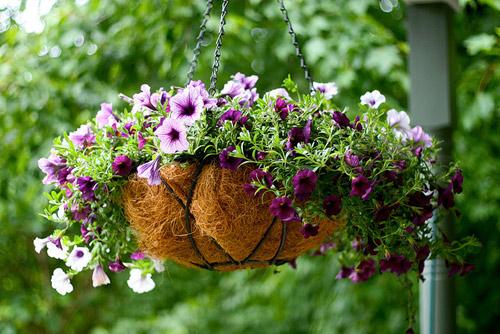 7 loài hoa tuyệt đẹp tô điểm ban công - 1