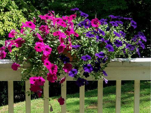 7 loài hoa tuyệt đẹp tô điểm ban công - 2