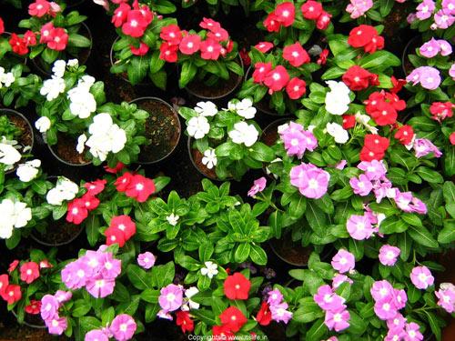 7 loài hoa tuyệt đẹp tô điểm ban công - 15