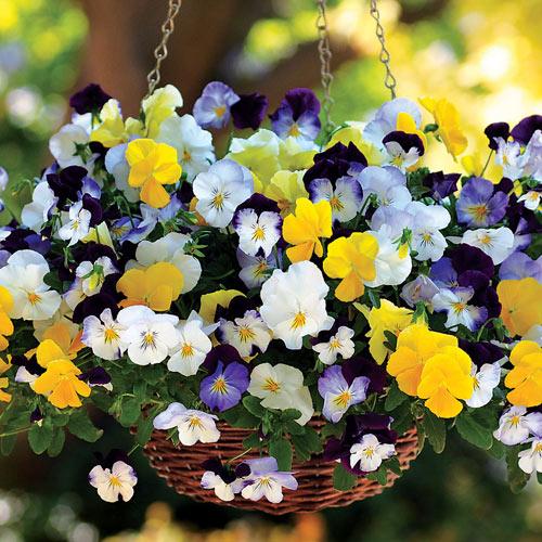7 loài hoa tuyệt đẹp tô điểm ban công