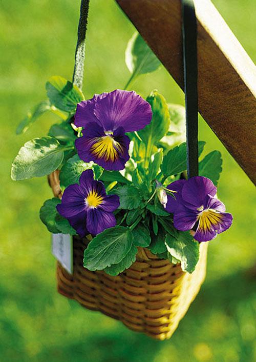 7 loài hoa tuyệt đẹp tô điểm ban công - 13