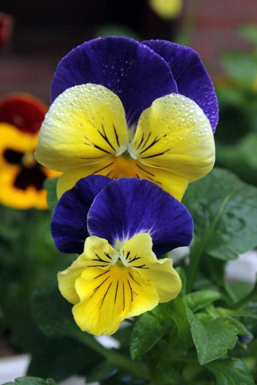 7 loài hoa tuyệt đẹp tô điểm ban công - 11
