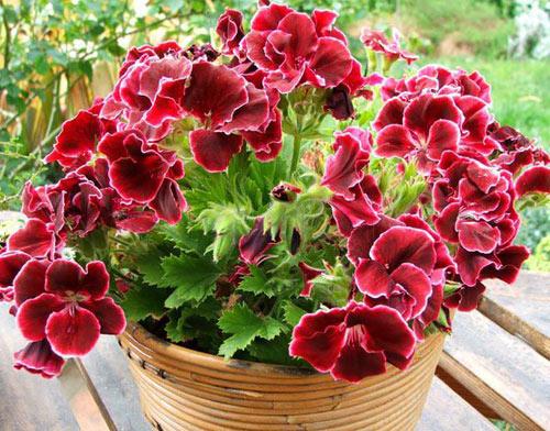 7 loài hoa tuyệt đẹp tô điểm ban công - 8