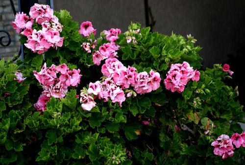 7 loài hoa tuyệt đẹp tô điểm ban công - 9