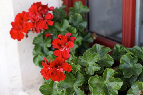 7 loài hoa tuyệt đẹp tô điểm ban công - 5