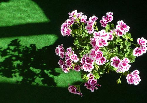 7 loài hoa tuyệt đẹp tô điểm ban công - 6