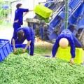 Mua sắm - Giá cả - Tiêu hủy 1,3 tấn đậu nành rau nhiễm thuốc BVTV