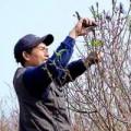 Tin tức - Người nông dân chăm sóc đào Tết ở vườn Nhật Tân