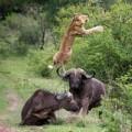 Tin tức - Ảnh động vật: Trâu điên húc bay sư tử
