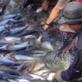 Mua sắm - Giá cả - Báo động: Ngành cá tra đang thoái trào