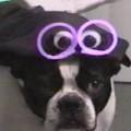 Clip Eva - Khi những chú chó hóa trang cho lễ Halloween