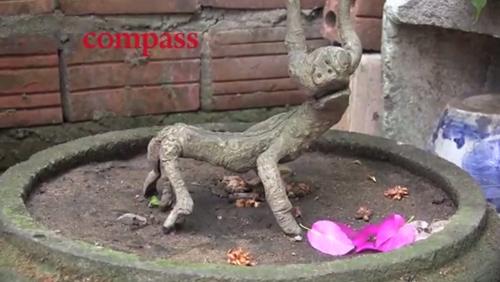 vuon bonsai nho xinh o nha co hoi an 300 nam - 6