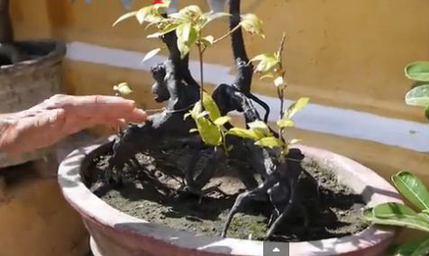 vuon bonsai nho xinh o nha co hoi an 300 nam - 4