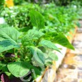 Nhà đẹp - Vườn rau sạch thầy giáo trồng cho vợ con ăn