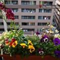 Nhà đẹp - Vườn ban công 3m2 của du học sinh tại Nhật Bản