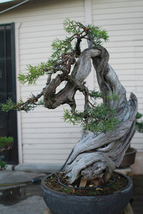 vuon bonsai tien ty o my cua bang kieu - 8