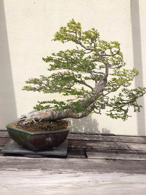 vuon bonsai tien ty o my cua bang kieu - 9
