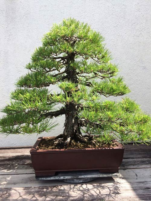 vuon bonsai tien ty o my cua bang kieu - 10