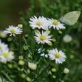 Tin tức - Bồi hồi ngắm hoa Thạch thảo cuối thu