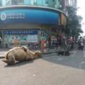 Tin tức - Phẫn nộ lạc đà bị chặt tứ chi để dắt đi ăn xin