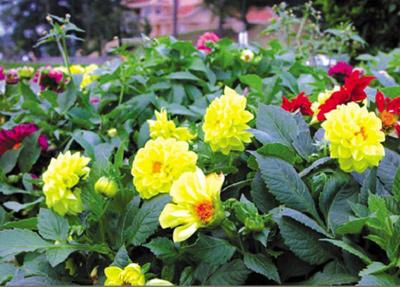 nhung loai hoa de trong, de song khi dong den - 2