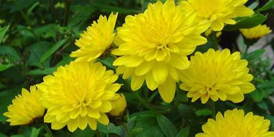 nhung loai hoa de trong, de song khi dong den - 5