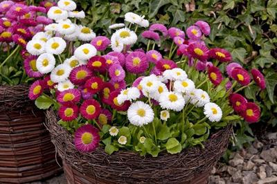 nhung loai hoa de trong, de song khi dong den - 6
