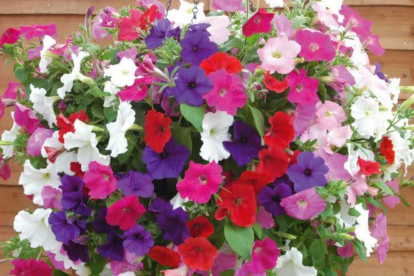 nhung loai hoa de trong, de song khi dong den - 4