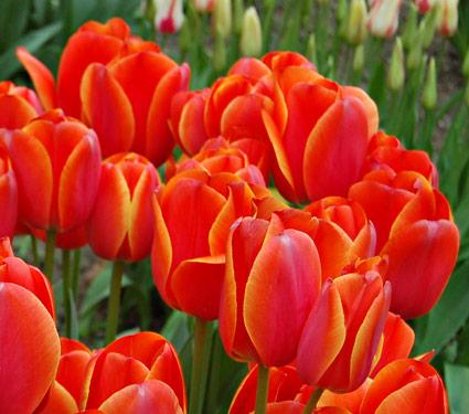 5 buoc trong tulip no dung dot tet ve - 3
