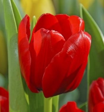 5 buoc trong tulip no dung dot tet ve - 5