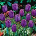 5 buoc trong tulip no dung dot tet ve - 6