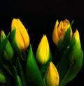 5 buoc trong tulip no dung dot tet ve - 7